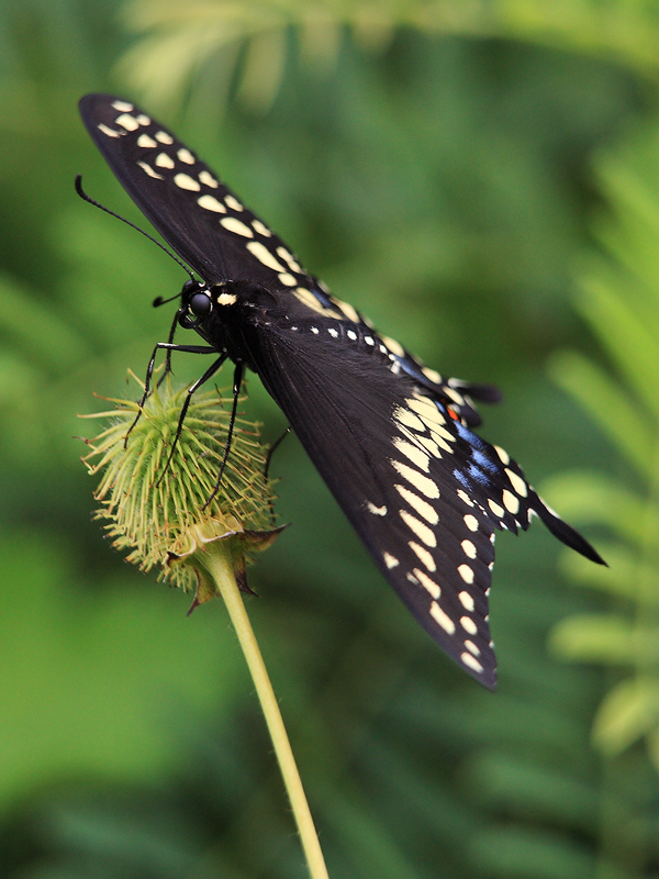 Swallowtails Everywhere by papatheo