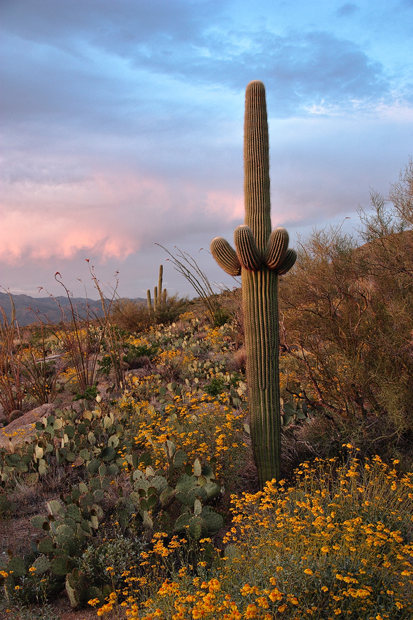 Young Saguaro at Sunset by papatheo
