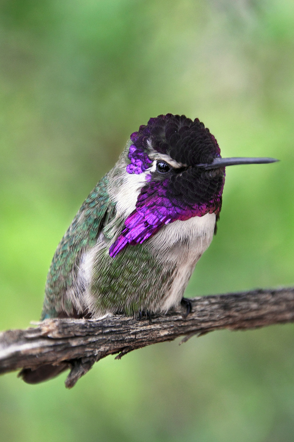 Costa's Hummingbird by papatheo