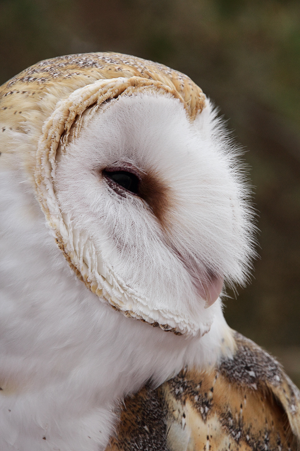 Barn Owl by papatheo