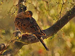 Mourning Dove in the Evening