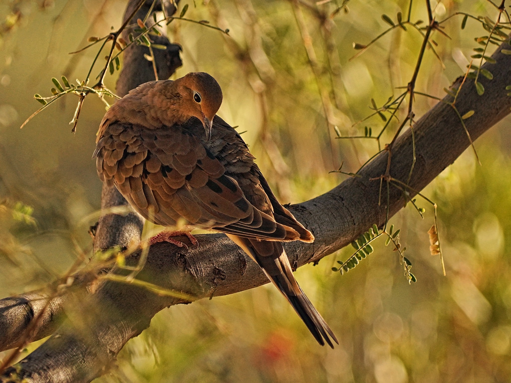 Mourning Dove in the Evening by papatheo