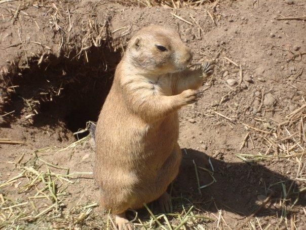 Prairie Dog Six by itsayskeds