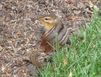 Chipmunk 2 by itsayskeds