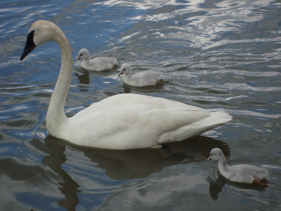 Swan 1 by itsayskeds