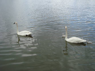 Swan 2 by itsayskeds