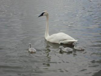 Swan 3 by itsayskeds