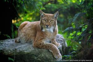 Lynxes by Wild-Lweek