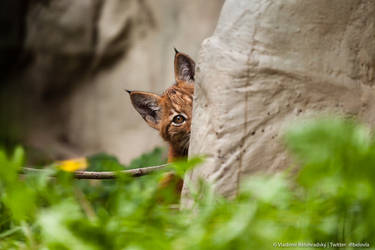Lynx cub peeking