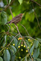 Common blackbird on cherries