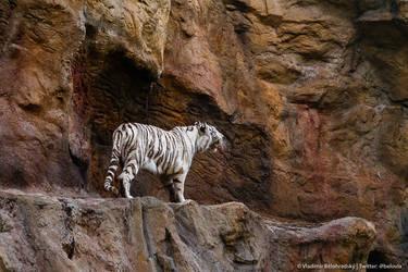 White tigress on the prowl