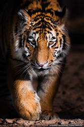 Little tiger on the prowl