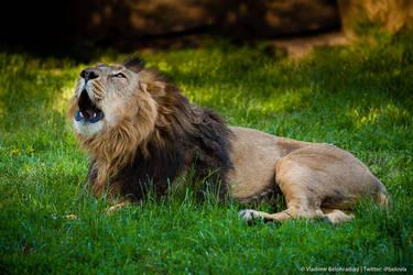 Asian lion roar his presence