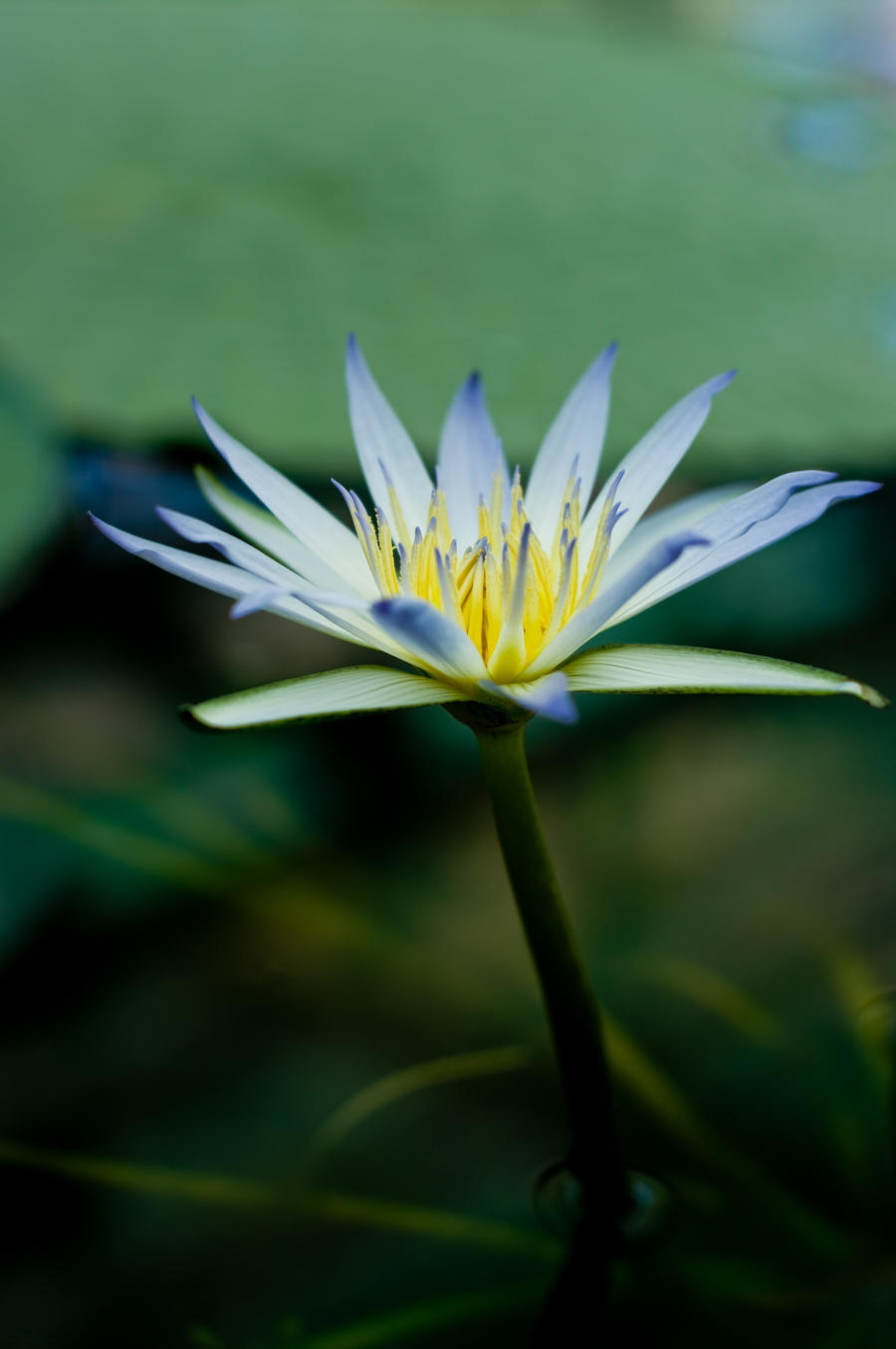Blue Nile Lilly by MarkKenworthy
