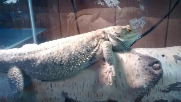 My lizard