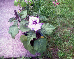 Gramma's Flower One by miserychic