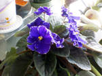 Violet of African Variety I by miserychic