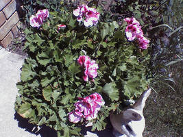 Geraniums by miserychic