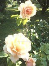 Rose by jessamaciejewski
