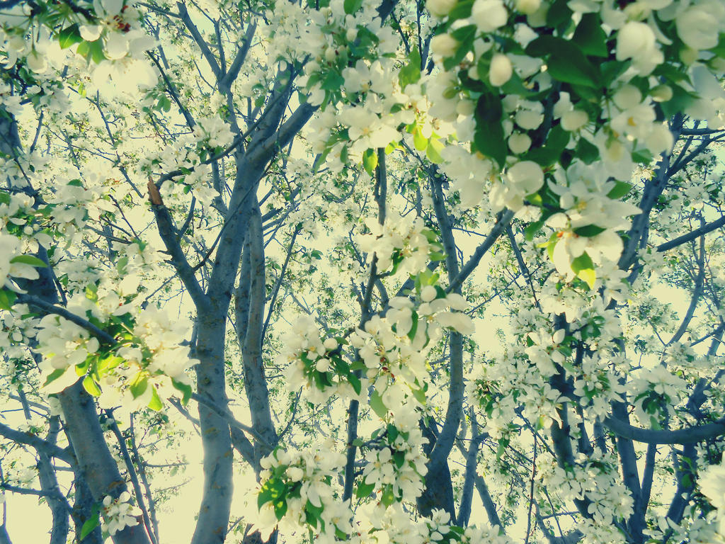 Crabapple Blossoms by jessamaciejewski