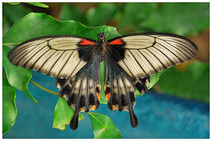 Black Red Butterfly