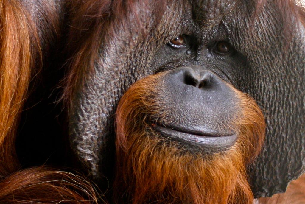 Orangutan yang Pandai Berkomunikasi dengan Manusia, Mati di Amerika