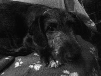Puppy Scottish Deerhound by Mintylight