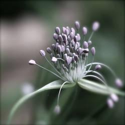 Pastel Flower - Allium by webworm