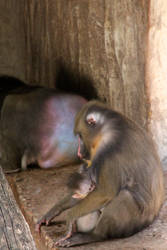 Happy Mandrill Family by webworm