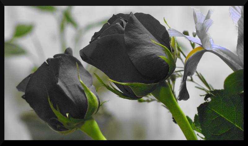 Black Roses by DevilsSnare