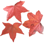 Maple Leaves PNG