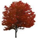 Maple Tree PNG