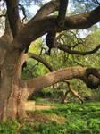 Big Oak by simfonic