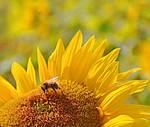 Sunflower03 by Sandgroan