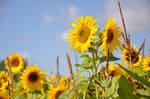 Sunflower04 by Sandgroan