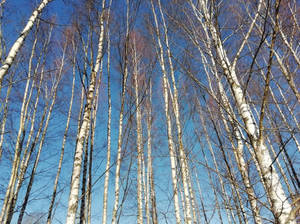 blue sky white trees