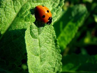 Queen ladybird