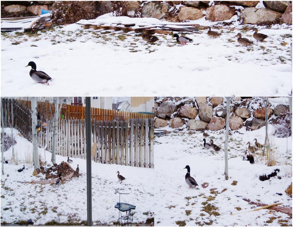 Backyard Ducks by AmandaTaylor