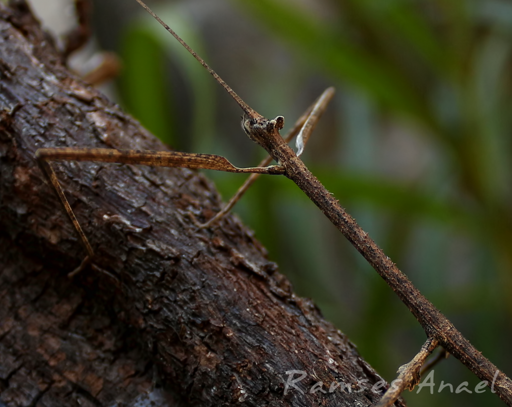 Stick Insect (Close-up) by Ramses-Anael