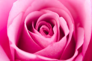Pink Rose Macro by Rentapest