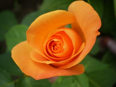Orange rose #1 by astral26