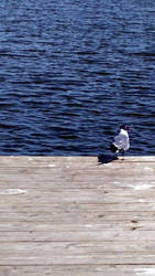 Lake gull by masonmouse