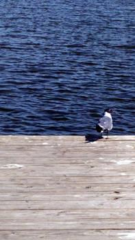 Lake gull