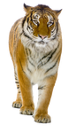 Tiger PNG image, free download, tigers