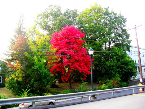 the old red maple returns 2020