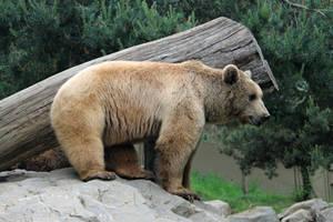 Bear 9 by Linay-stock