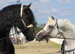 Friesian and Arabian horses