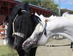 Friesian and Arabian horses 4