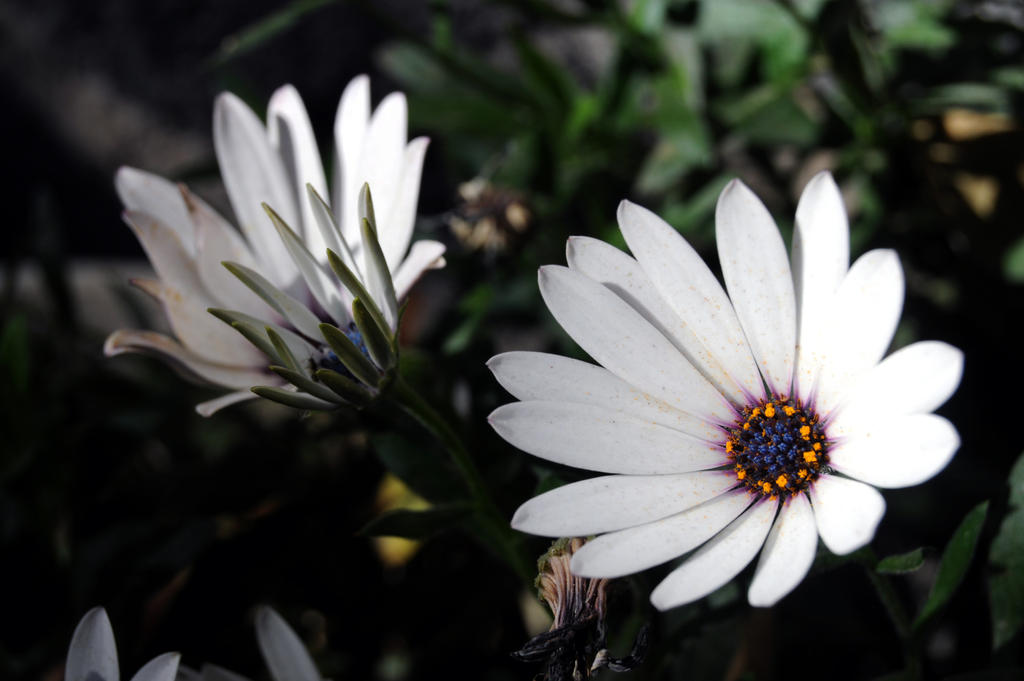 African daisys by Lupilstinskin