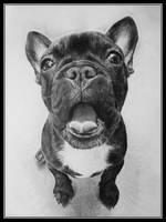 French Bulldog by chuckie96